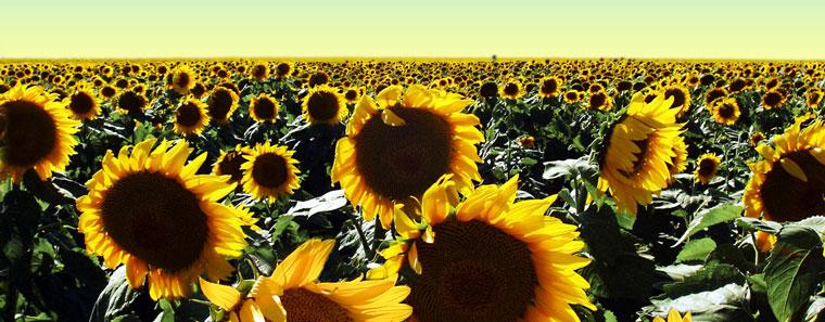 sunflower-harvesting