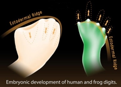 10416-embryonic-development-en