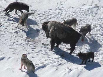 wolves-vs-bison