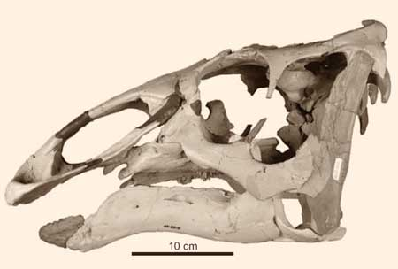 Ugrunaaluk-kuukpikensis-skull