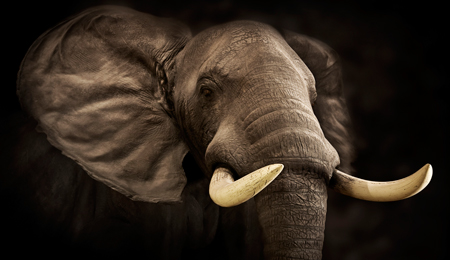 elephant-losing-tusks