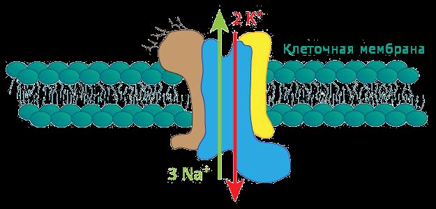 Na-K-ATPase-pumpRU