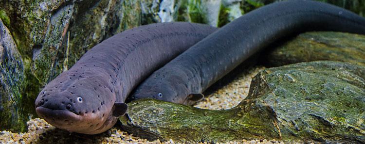 electric-eel