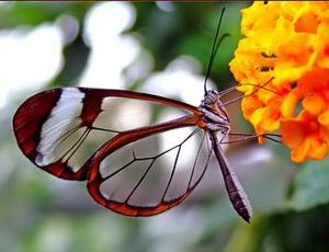 7193glasswing-butterfly
