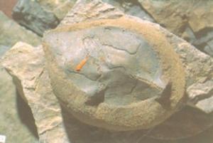 11262-fossil-leaf