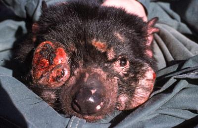 Tasmanian-Devil-facial-tumour-disease
