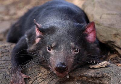 Tasmanian-Devil-front