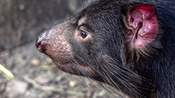 Tasmanian-Devil-side