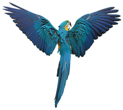 blue-parrot
