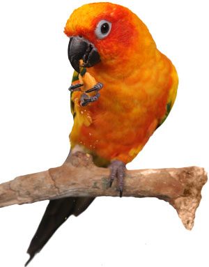 eating-parrot
