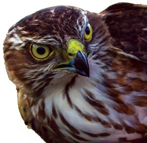 raptor-bird