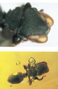 ZacryptocerusAztecus