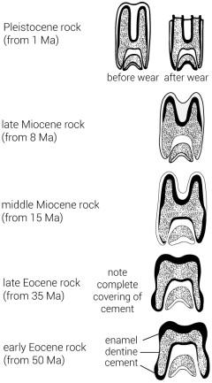11859-molars