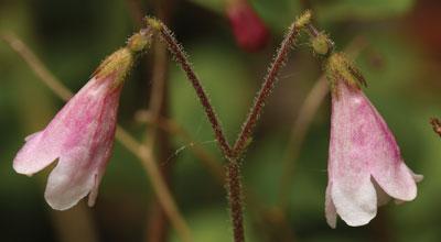 Linnaea-borealis
