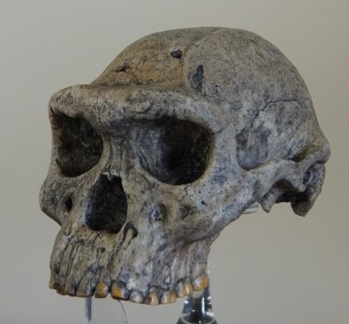 Figure_7_D4500_Dmanisi_erectus