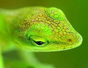 12064-anole