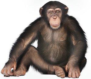 12064-chimp