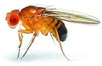 12064-fruitfly