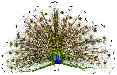 12064-peacock
