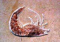 12064-prawn-fossil