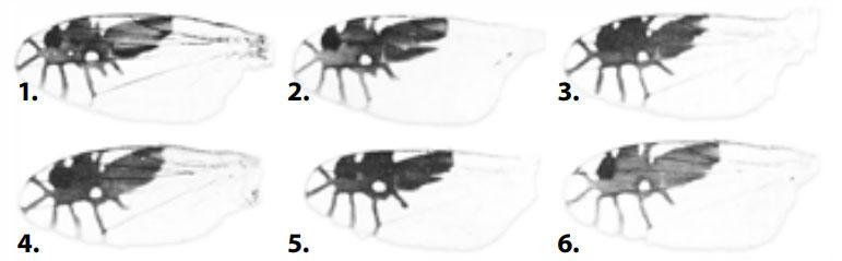 Goniurellia-species