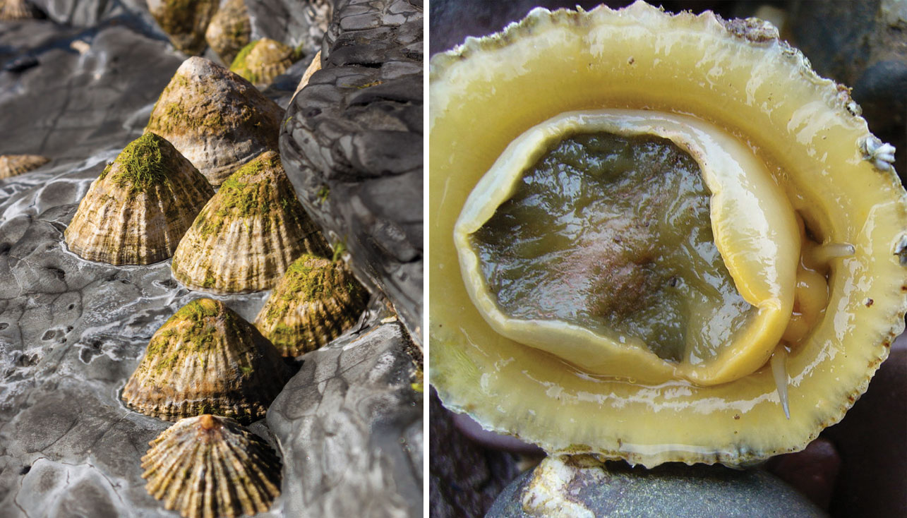 Radiate Limpet (Lovely Limpets of NZ) · iNaturalist.org