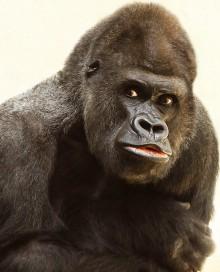 12208-gorilla-220x272px