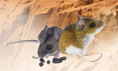 Nebraskan-deer-mice