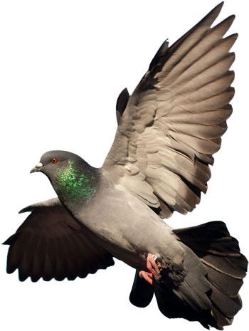 solo-pegeon