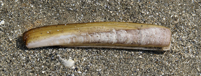 empty-razor-clam-shell