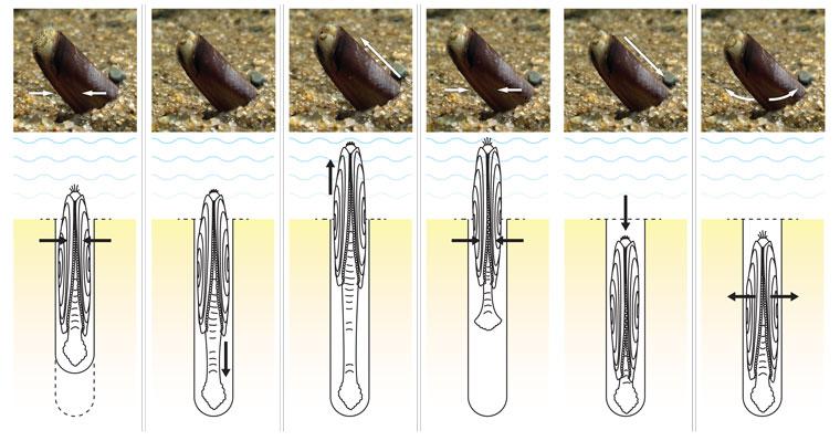 razor-clam-digs