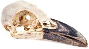 bird-skull