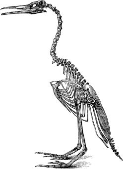 bird-skeleton