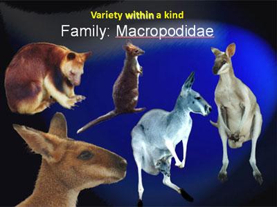 macropodidae