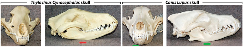 thylacine-skull