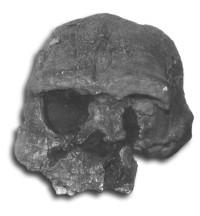 12617-erectus