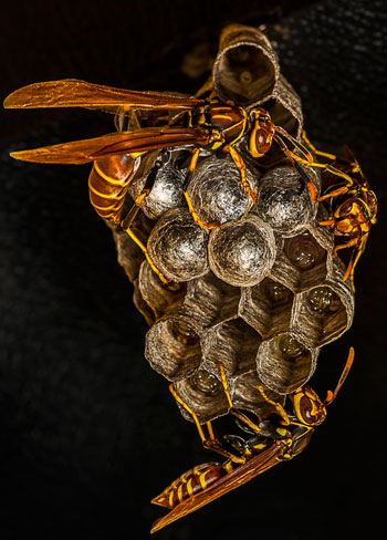 wasp-colonies