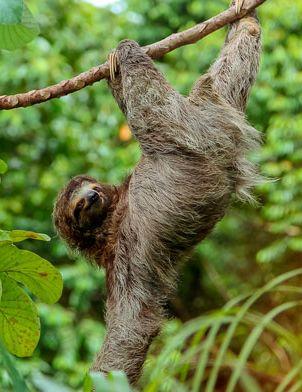 sloth-1