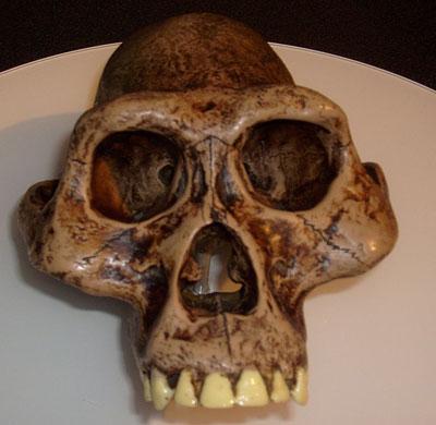 Australopithecusafarensis-reconstruction