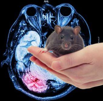 rat-brain