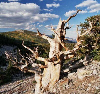 bristle-cone-pine