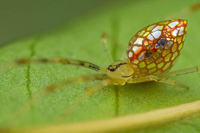 mirror-spider