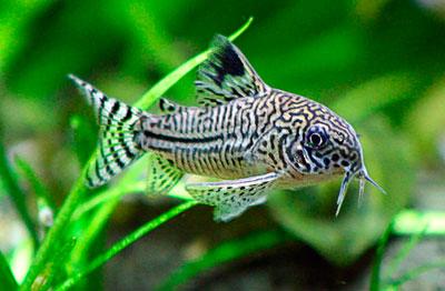 aquarium-catfish