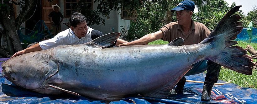 bear-size-catfish