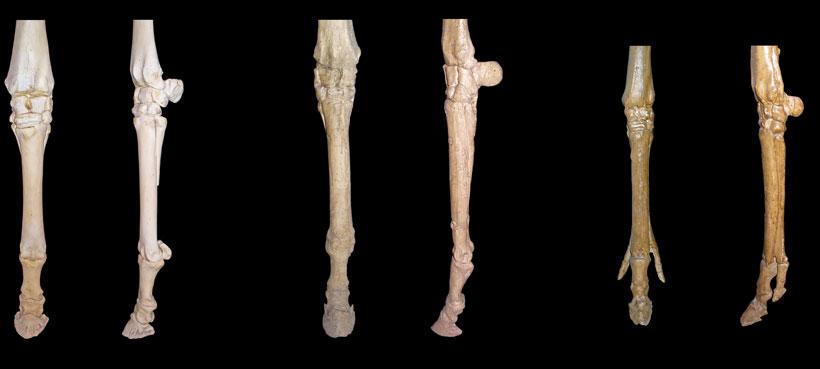 variation-horse-legs