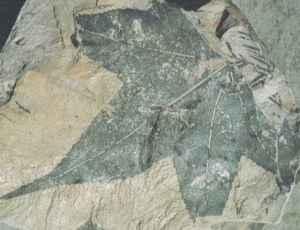 fossil liquidambar