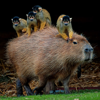 capybara-as-chair