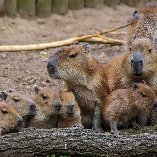 capybara-family