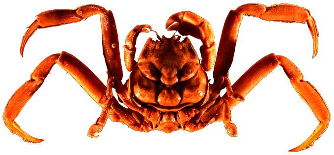 Samurai-crab