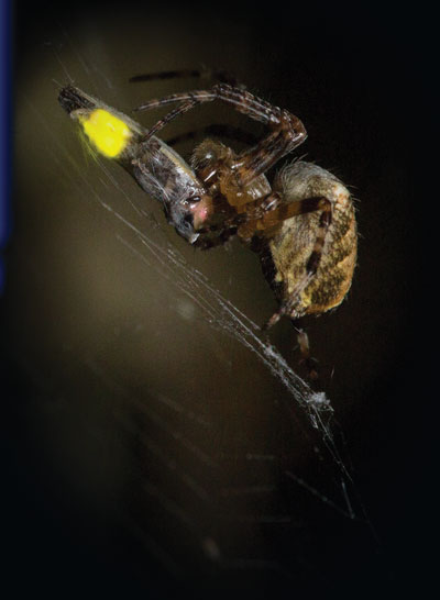 spider-catching-firefly
